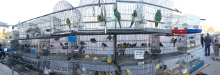 A pet bird market that filled the entire courtyard in front of a church.