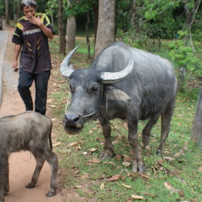 A baby water buffalo wanted to check us out. Mom said 'Don't talk to strangers'