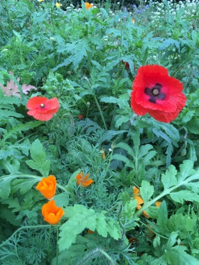 Red and orange poppies!