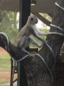 Pesky monkeys are only scared away when the staff use a wooden slingshot. I know they seem cute, but they're not good to have around at meals.