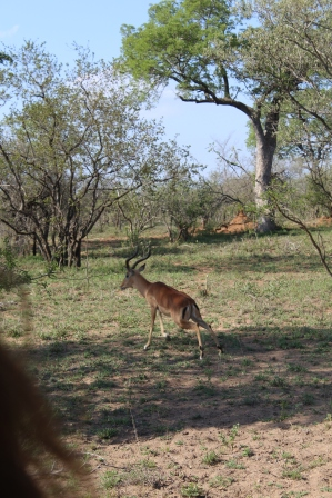 Not the best picture, but it's the very first picture I took of this adventure. It's an impala, known as the McDonald's of the wildlife kingdom. They've got a black 'M' shape on their bums, and they're also 'fast' food as prey goes.