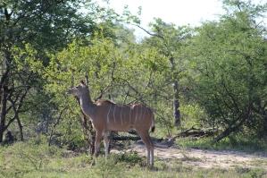 Kudu: similar to a deer, but larger, and not seen as often as an impala