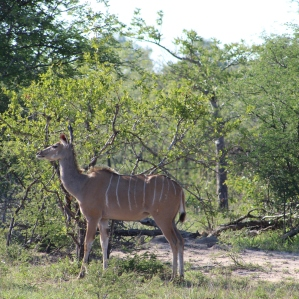 Kudu: similar to a deer, but larger, and not seen as often as an impala