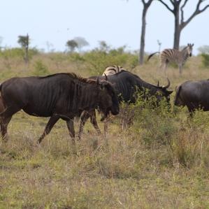 Gnus or Wildebeests make a gnuuuuu sound.
