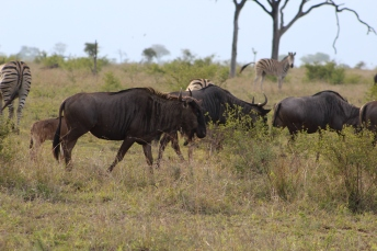 Gnus or Wildebeests make a gnuuuuu sound.