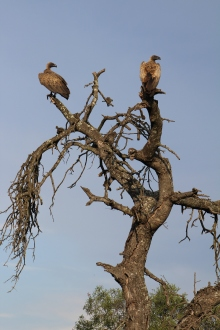 Vultures in a tree might help us determine which way the predator and prey may be