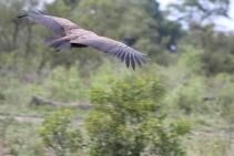 Vulture taking flight. Good shot, Meek!