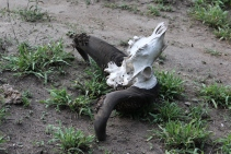 Water buffalo skull. Hyenas, if hungry enough, could come back to eat this as they are the only felines that can digest bone.