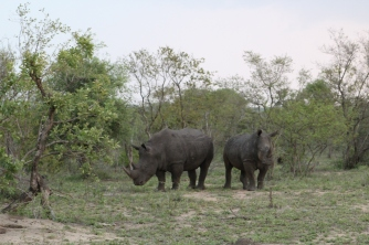 A white rhino's name is a mistake. The foreigners visiting heard locals talking about 'white rhinos' and figured these were very rare. However, the locals were mentioned 'wide' rhinos which have wider lips used for grazing.