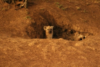 Hyenas coming out to check our jeep and also the coming storm.