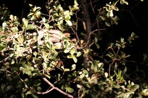 This boomslang is one of the most poisonous in the bush. The light shining on it is from Johannes-Godfrey's spotlight.
