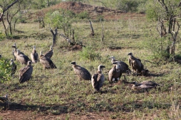 These vultures have to hop and run on the ground before they can take off. They keep a safe distance from the lions in case they need a quick get away.