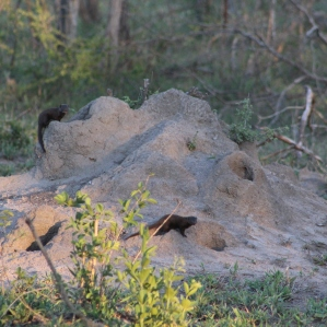 Dwarf mongooses/mongeese?