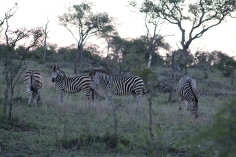 I can't recall the name of these zebra, but they are slightly brown-hued which are different than the pure black and white herds.