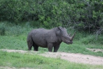Another solo white rhino. This one was a bit more skittish than the others.