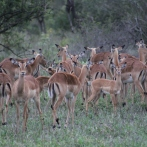 Fast food mega franchise! This was the largest herd of impala we saw on the trip.