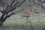 Pumbaa! This was our first and only sighting of a warthog.