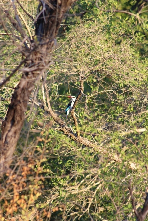 Blue Roller: They fly up and down like a roller coaster