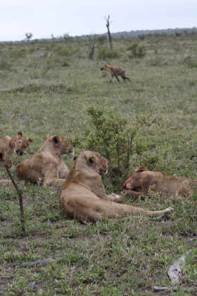They hyenas are so close, but so far!