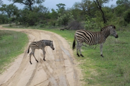 Baby zebras are born with legs the size of a full grown adult. The babies grow into them, but for a few months, they look like they are wobbling on high heels.