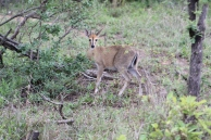 Another tiny steenbok