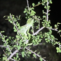 Night-time spot! We were able to quickly get out to snap a picture of this chameleon while Johannes-Godfrey used his spotlight to support our masterful pictures.