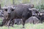 Water buffalo weren't as interesting for me to watch, but I did love the curve of their horns, and I enjoyed trying to capture the birds that were hitching a ride on their backs.