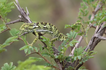 We passed the same area with the chameleon and I joke that Lyton must keep her as a pet and put her out on the bush to impress his guests :)