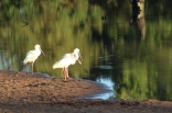 Spoonbills for a morning drink