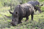White rhino buddies hanging out.