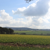 Daffodils were blooming in pastures all over the countryside.
